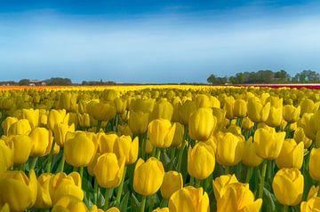Gele tulpen 1 van Sandra de Heij