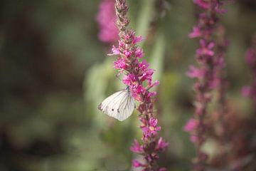 Schmetterling von Kristof Ven