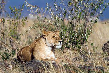 Ruhende Löwin von Angelika Stern
