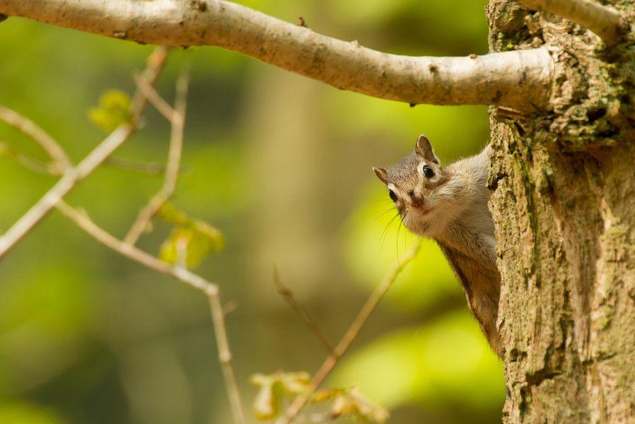 Siberische grondeekhoorn in de boom
