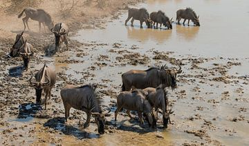 Dorstige kudde gnoes komt aan bij een waterhole von Bas Ronteltap