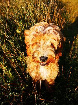 Lieve Labradoodle in de zon von Fleur Ruygh