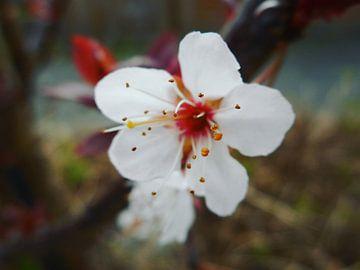 Cherry blossom von Dave Mulder