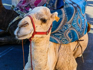 Moroccan camel van