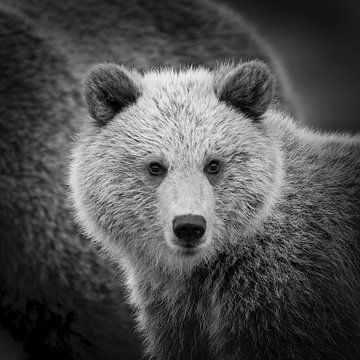 Jonge bruine beer van Frans Lemmens