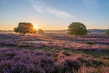Blühendes Heidekraut bei Sonnenaufgang von Tim Vlielander