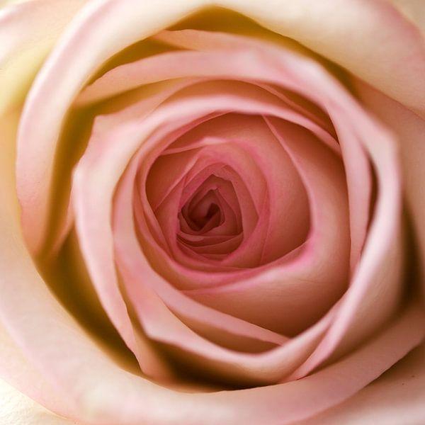In het hart van de roos