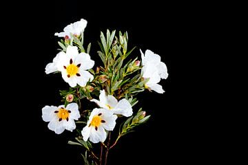 Bloeiende rotsroos - Cistus ladanifer van Nisangha Masselink