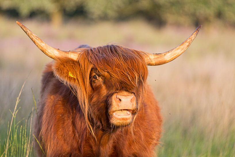 Schotse hooglander loeiend van Anneke Hooijer