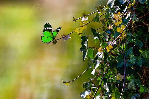 Groen in groen - vlinder in de natuur