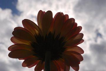 Onderkant van een Gerbera gefotografeerd tegen het zonlicht in  van Amanda van Herwijnen