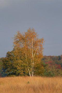 Birke in Herbstfarben von Samantha van Leeuwen