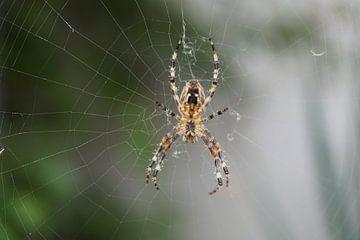 Spinne im Netz von Babetts Bildergalerie