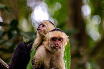 Affen in Costa Rica von Jorick van Gorp