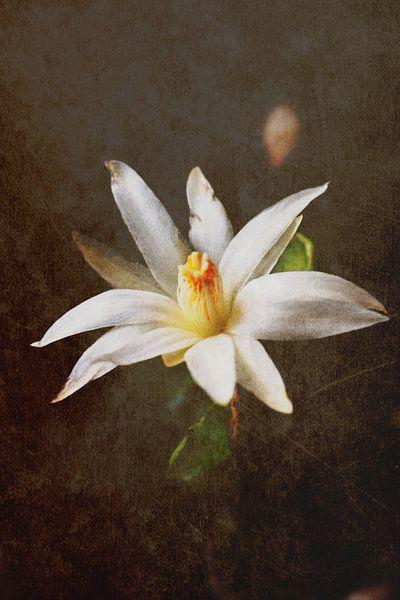 Christmas cactus bloom2 van Rosi Lorz