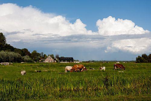 Grazende koeien onder een Hollandse lucht