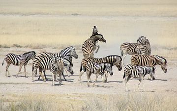 Zebra's in Etosha National Park/ zebra's at Etosha National Park van Marijke van Noort