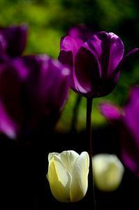 Witte en paarse tulpen