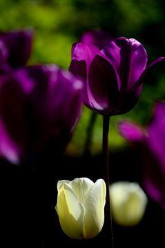 Witte en paarse tulpen van Jessica Berendsen