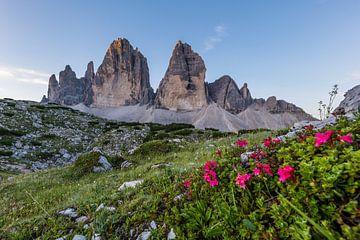 Bergblumen vor den Drei Zinnen von Denis Feiner