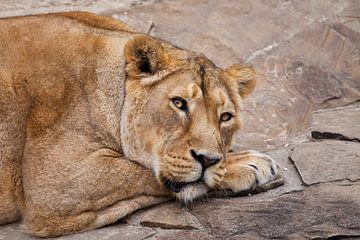 Eine mächtige Löwin ruht sich auf den Steinen aus