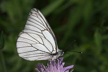 Wit/zwarte vlinder op lila bloem van Lisette Tegelberg - Zegwaard