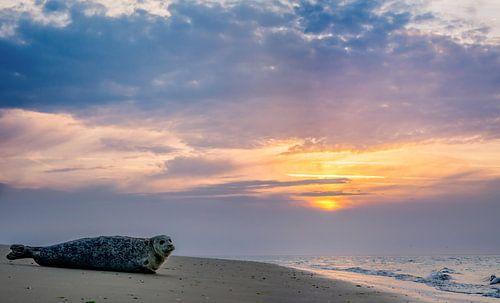 Zeehond Texel zonsondergang van