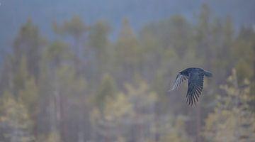 Raaf / Raven van Pascal De Munck