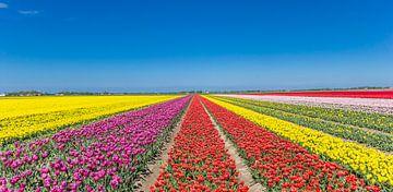 Panorama der bunten Tulpen im Noordoostpolder von Marc Venema