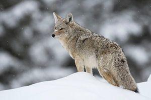 Coyote ( Canis latrans ) im Winter auf Schneehügel, schaut sich um, wildlife, Yellowstone NP, USA.