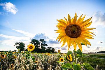 Zonnebloem,Sunflower, Summer, zomer