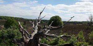 Panorama omgevallen boom
