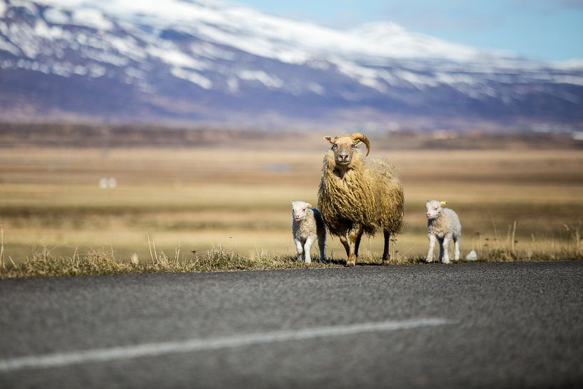 Schapen in IJsland van Chris Snoek