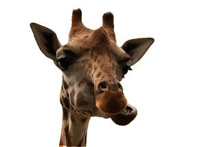 Giraf portret van