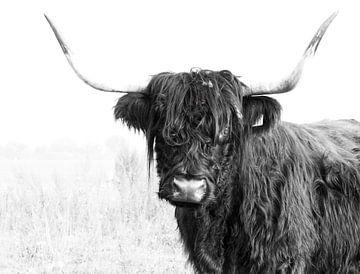 Schottisches Hochlandrind 001 von Carola Stroy