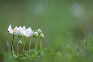 Parnassia, witte bloemen sur Gonnie van de Schans