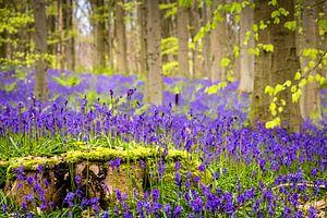 Wilde hyacinten (Hallerbos, België)