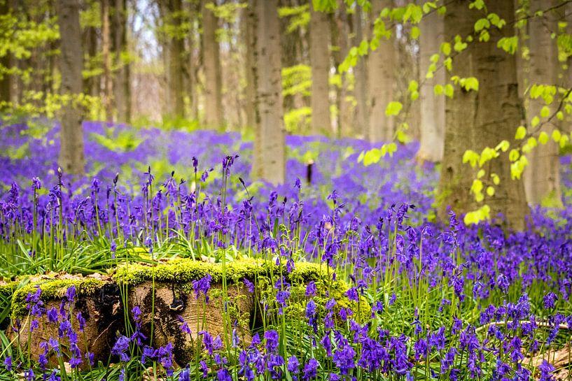 Wilde hyacinten (Hallerbos, België) van Dennis Wardenburg