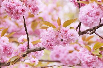 Roze bloesem in bloesemboom van Arja Schrijver Fotografie