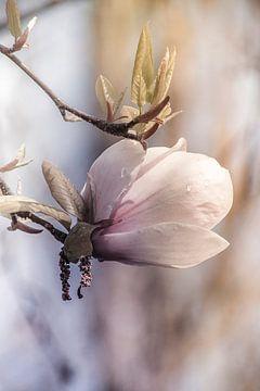 Magnolia, von Yvette Bauwens