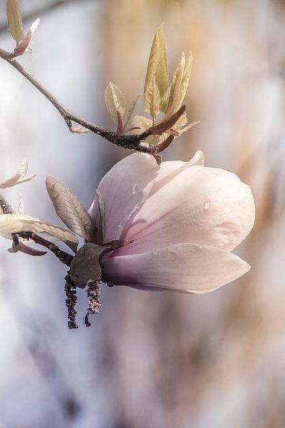 Magnolia, van Yvette Bauwens