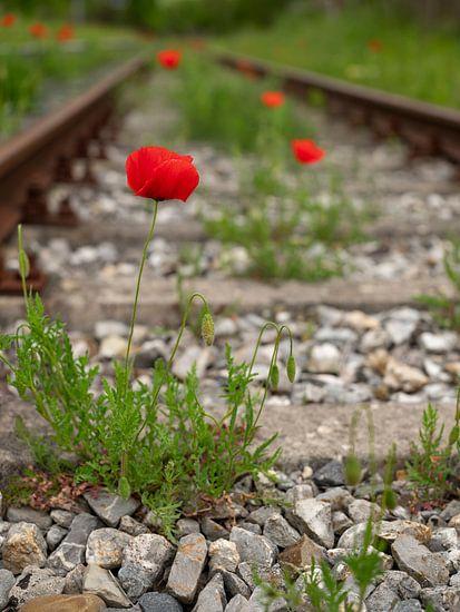 Mohnblumen zwischen Gleisen
