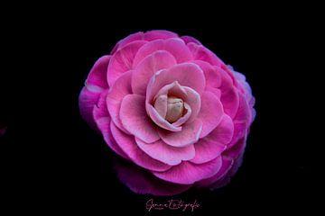 rosa Kamelie japonica von SjennaFotografie