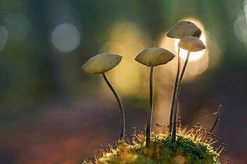 Groepje paddenstoelen in ondergaande zon van Cor de Hamer