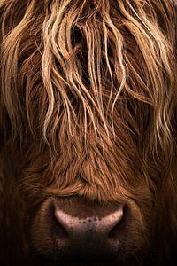 Koe, Schotse Hooglander portret closeup van Desiree Tibosch