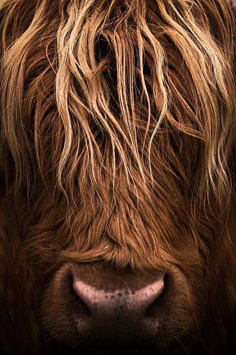 Koe, Schotse Hooglanders, portret, closeup, schotland
