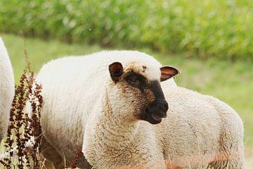 Grappige schapen van