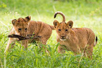 Spielende Löwenkinder in Botswana von Britta Kärcher