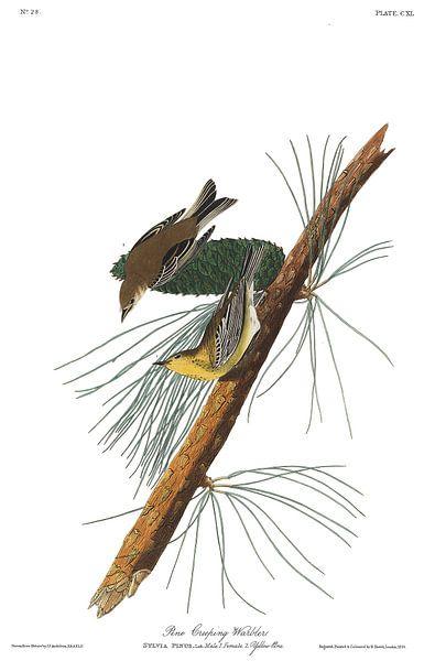 Dennenzanger van Birds of America