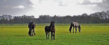 Friesian horses & foals... sur Albertha  de Vries